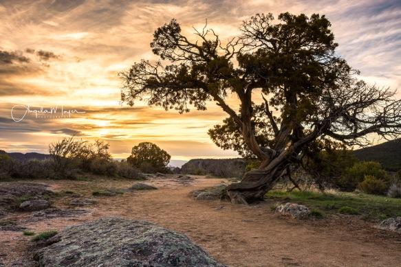 Flattened_Juniper-Tree-at-Sunset_WEB