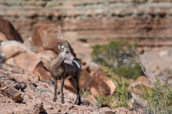 Big Horn Sheep_DS19378_WEB
