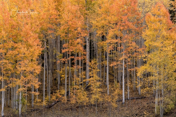 Flaming Aspens_DSC7159_WEB