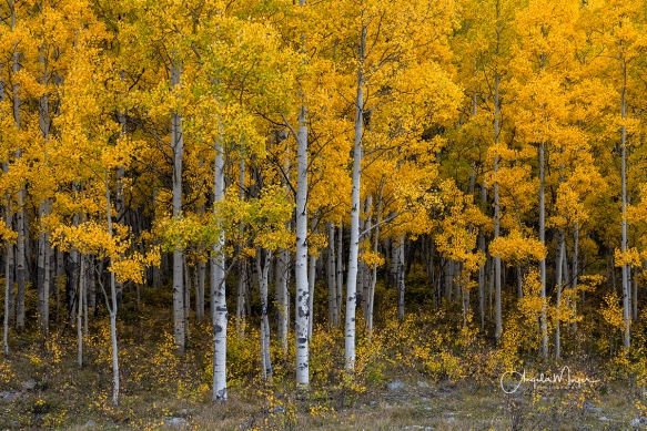 Golden Aspens_DSC5151_WEB
