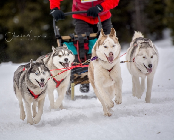 sled dogs_web