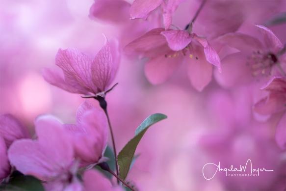 Pink Blossom_NIK1993_WEB